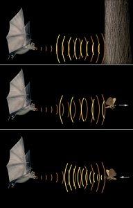 pipistrelli radar
