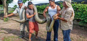 snakeisland anaconda